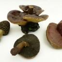 Wax fungi 1