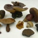 Wax fungi 2