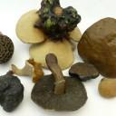 wax fungi 4
