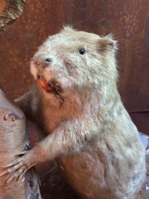 Antique Italian taxidermy of a beaver