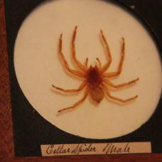 ~FINE WHOLE MALE CELLAR SPIDER MOUNT-MAGIC LANTERN SLIDER~