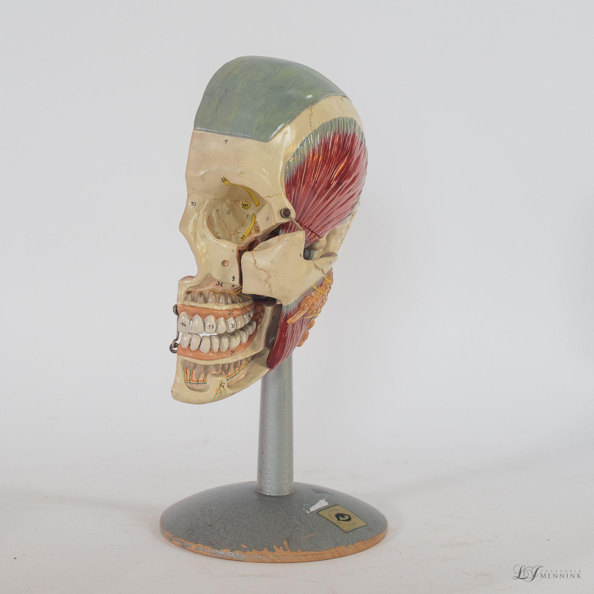 Human half head anatomical model