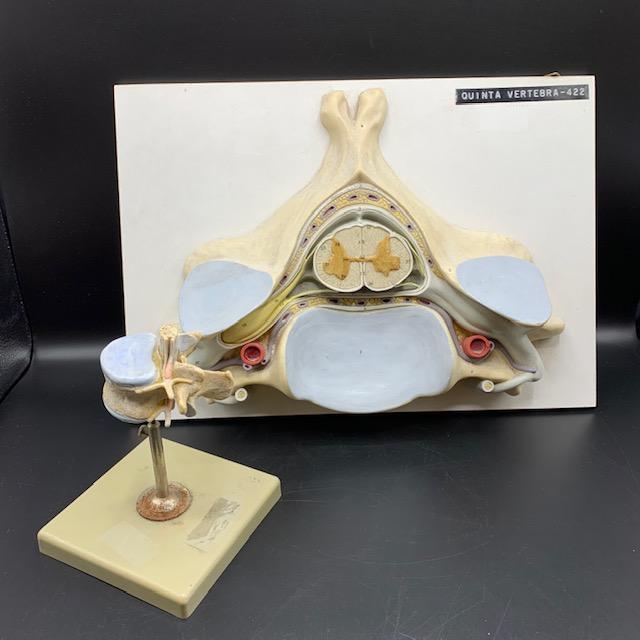 German vintage models of the spinal cord